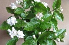 盆栽茉莉花的施肥方法