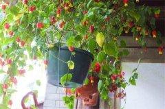 蔓性风铃花的养殖方法