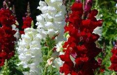 金鱼草的花语是什么 金鱼草的花语和传说