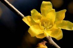 腊梅花春天怎么养 腊梅的春天养殖方法
