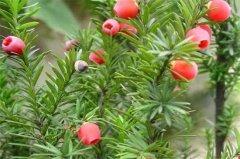如何判断红豆杉死亡,4种鉴定方法介绍