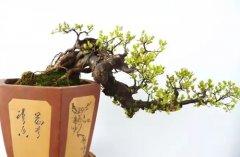 雀梅盆景的修剪要点及注意事项