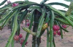 火龙果的枝叶怎么修剪 火龙果修剪方法