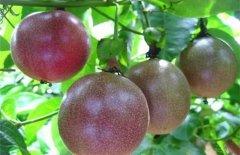 百香果的高产施肥技巧分享