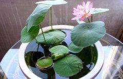 碗莲怎么水培 碗莲的水培方法