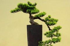 蓬莱松盆景怎么修剪造型 蓬莱松盆景制作方法