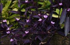 紫鸭跖草的种植方法