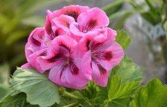 天竺葵的扦插繁殖时间方法