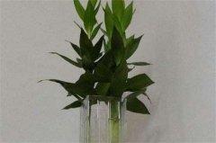 莲花竹的水培养护要点