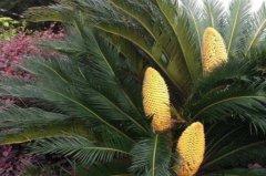 菠萝铁树夏天怎么养 菠萝铁树夏季养殖技巧