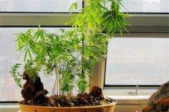 米竹盆景的养殖方法