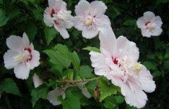 木槿花怎么种 木槿花的繁殖养殖方法