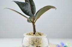橡皮树的水培方法和注意事项