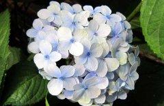 盆栽绣球花的养殖方法