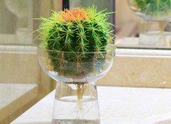 仙人球可以水培吗?仙人球的水培养殖方法