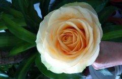 香槟玫瑰花语 不同朵数香槟玫瑰的含义