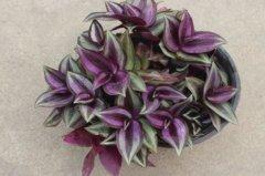 紫吊兰的日常养护技巧