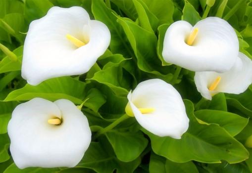 白色的马蹄莲