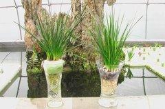 葱兰怎么水培方法和注意事项