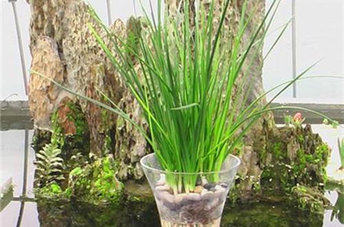 富贵竹水培的养殖方法和注意事项图片