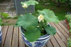 盆栽荷花的种植方法和养护要点