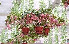 宝莲花的盆栽养殖方法