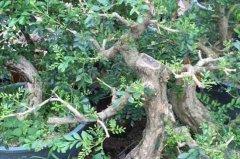 九里香盆景的养殖方法和注意事项