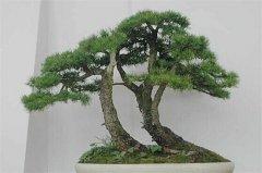 盘点中国十大松树种类,看中国松树有哪些