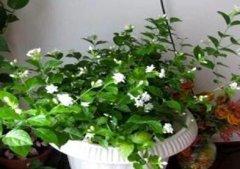 让茉莉多开花的养护方法