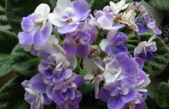 非洲紫罗兰的养殖方法和注意事项