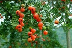 红豆杉盆景怎么养