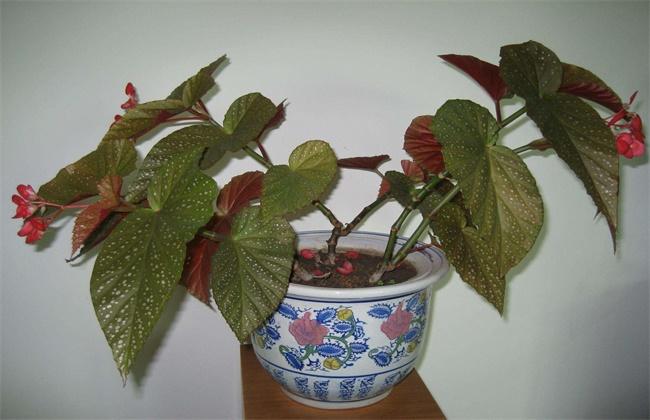 竹节海棠怎么矮化