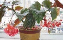 竹节海棠矮化处理方法