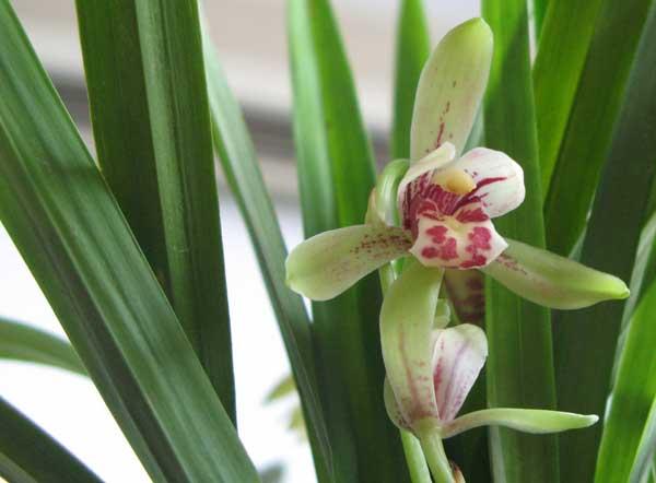 兰花品种分类及鉴别方法