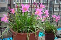 兰花移盆后可以浇水吗 多久浇水最合适