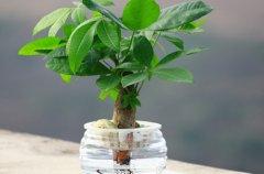 水培发财树徒长怎么办