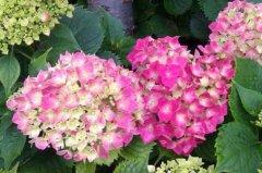 绣球花插花水养能活多少天 养护方法分享