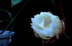 盆栽昙花怎么养开花