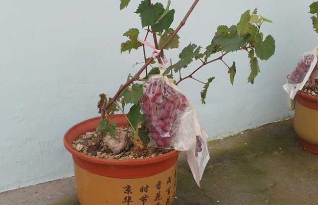 盆栽葡萄种植方法