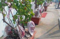盆栽葡萄怎么种
