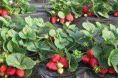 草莓光长藤蔓不开花的解决办法