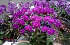 蝴蝶兰用什么盆土栽培长得好
