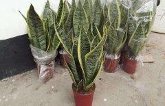 盆栽虎皮兰的日常养护方法