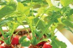 阳台种植萝卜菜的方法步骤