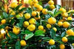 盆栽金桔多结果怎么种 日常养护技巧