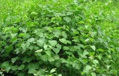 丁香的栽培养殖方法