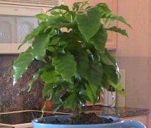 花友盆栽咖啡树经验养发分享
