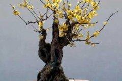 室内盆栽腊梅花的养殖方法