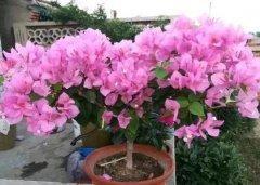 盆栽三角梅的矮化方法