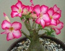 沙漠玫瑰怎么养_养殖方法和注意事项